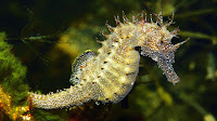 Sea horse pictures_Hippocampus Syngnathidae