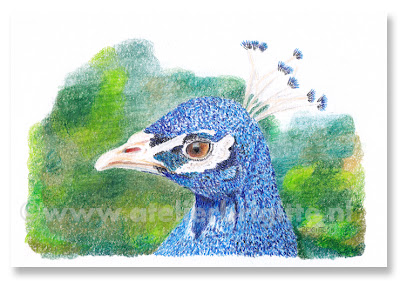 peacock drawing in color colour pencil