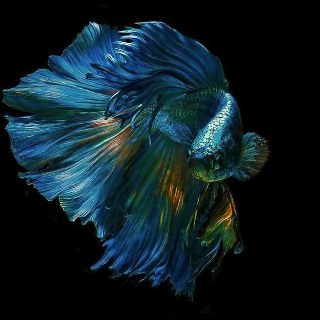 Wallpaper Ikan Cupang - Ikan Cupang Hias Koi Plakat Fancy ...
