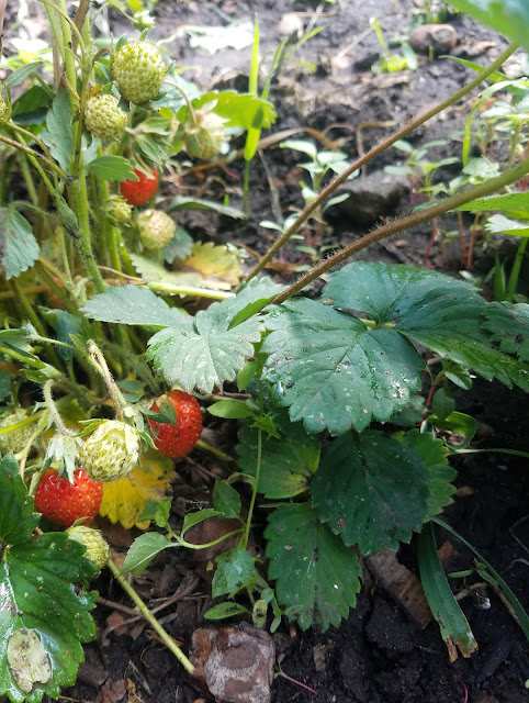 клубничка каждый день приносит новые ягоды, мои 92 дня лета