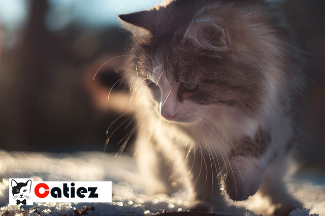 Siberian Cat - all you want to know about Siberian Cats