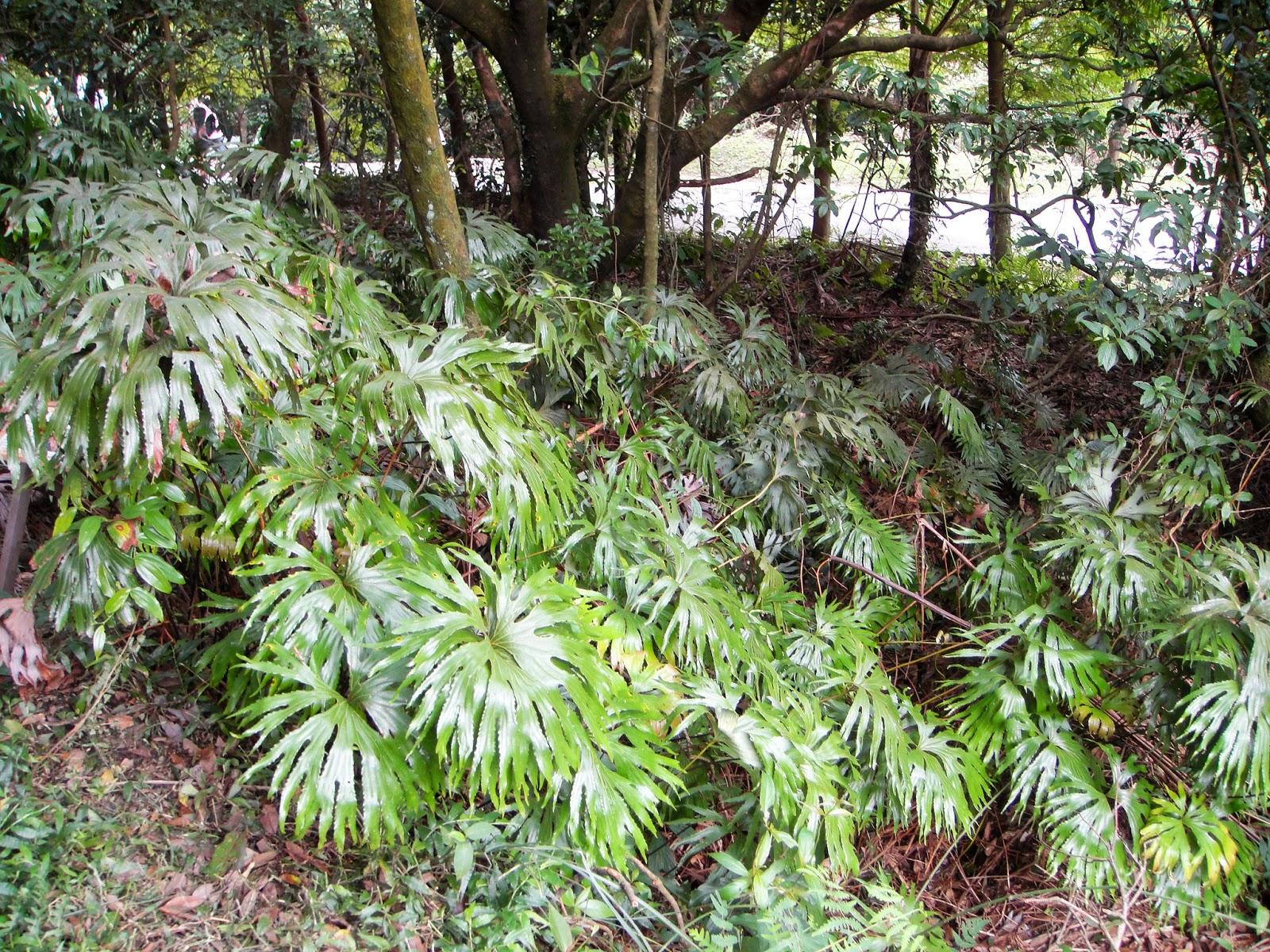 DWAN雲之端: 雙扇蕨--屬於雙扇蕨科,濕熱,故名。學名:. Dipteris conjugata Reinw. ;英文名 ...