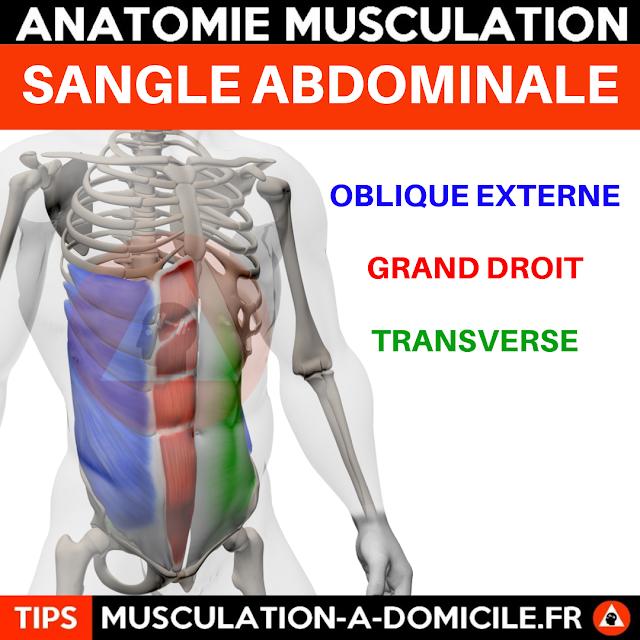 musculation à domicile anatomie des muscles abdominaux transverse grand droit obliques