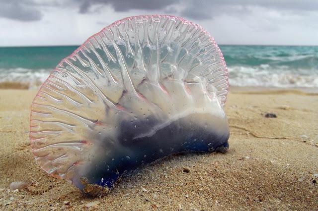 Animais aquáticos perigosos nas praias brasileiras