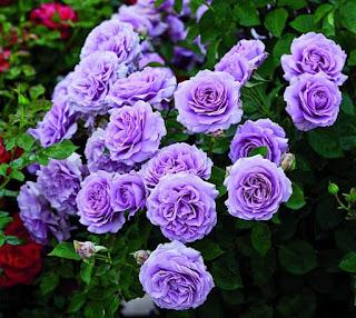 arti bunga berwarna ungu