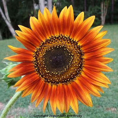 The Last Sunflower of Summer Autumn Beauty Sunflower Blossom Photographed September 18, 2013