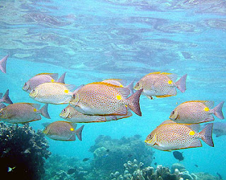kebiasaan hidup ikan baronang