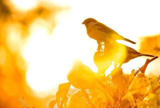 فوائد حبوب النيجر للطيور
