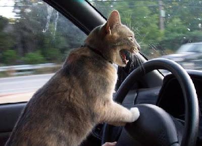Araç Kullanan Kediler