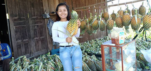 Unique fruit - The organic honey pineapples in Stung Treng province