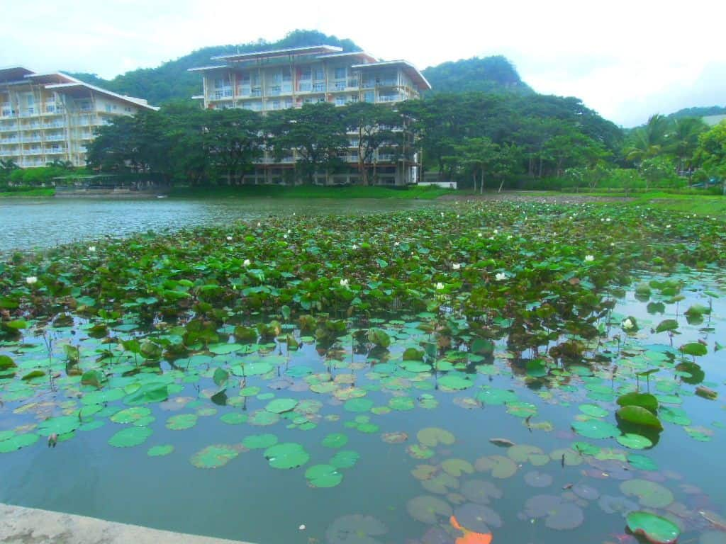 Lotus plants in the lake at Pico de Loro Beach & Country Club