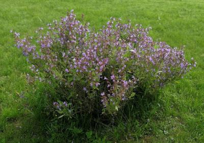 Salbei - Strauch im Garten