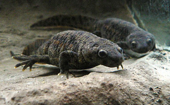 Tinuku Pleurodeles waltl salamander genome unlock secret of regeneration