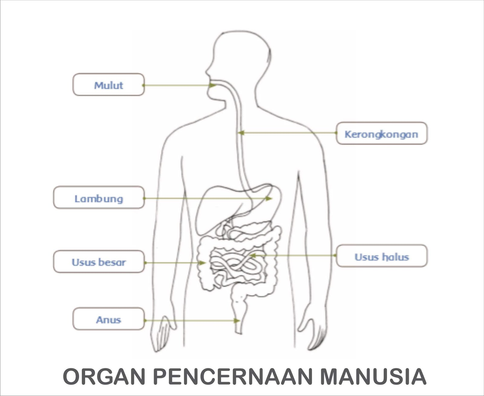 Diagram Dan Penjelasan Fungsi Organ Pencernaan Pada Manusia Gurune Net
