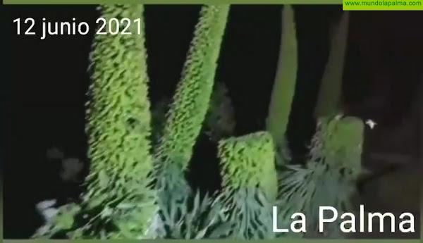 Destrozan varios ejemplares de tajinaste en la cumbre de La Palma