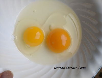 Bantam and standard hens eggs, comparison picture
