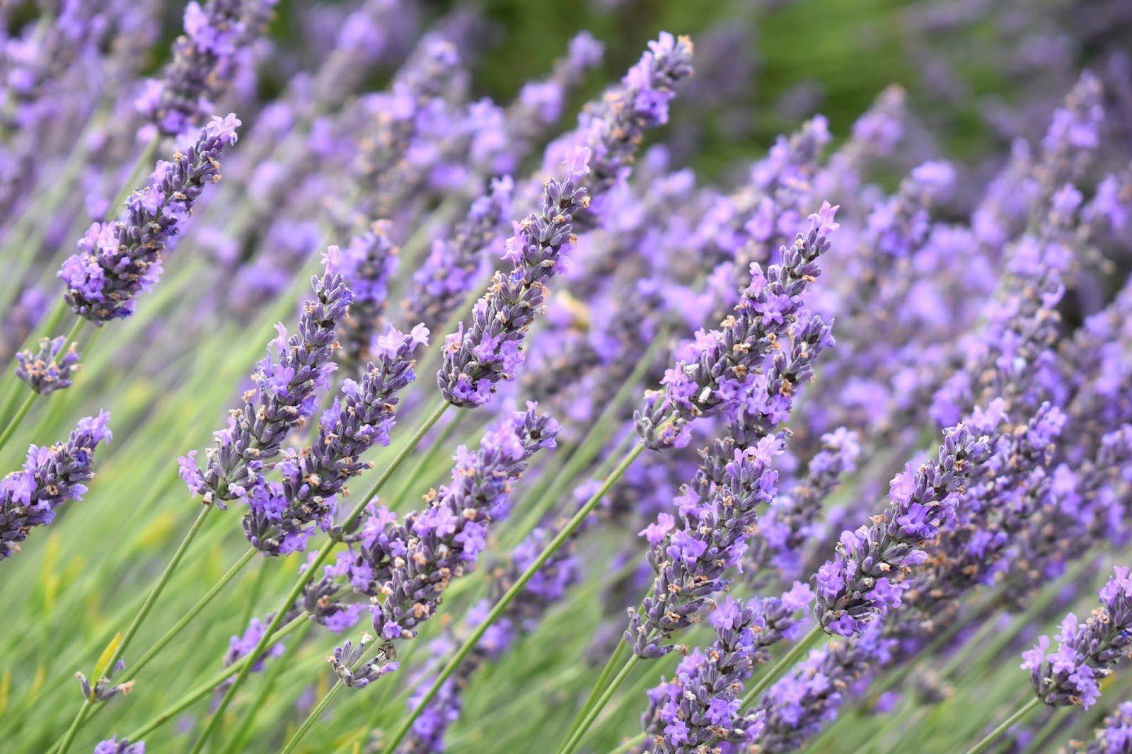Where to Find Lavender Fields in the North of England
