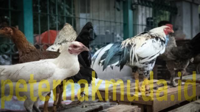 Trik Ternak Ayam Kampung Sukses