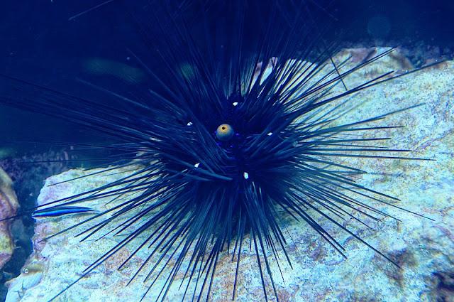mengenal landak laut