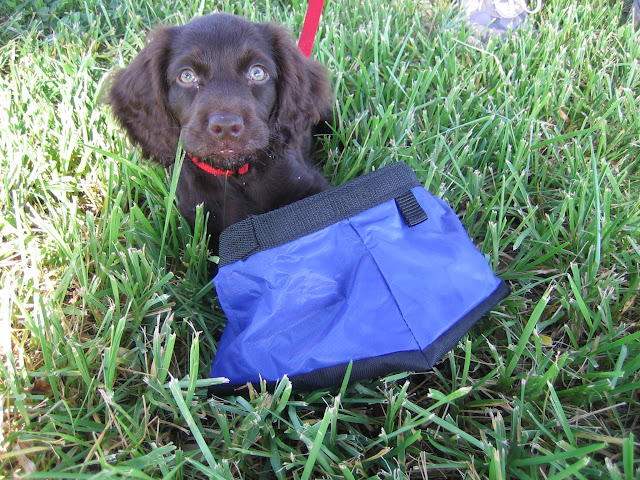 Sweet Boykin Spaniel Puppy | The Lowcountry Lady