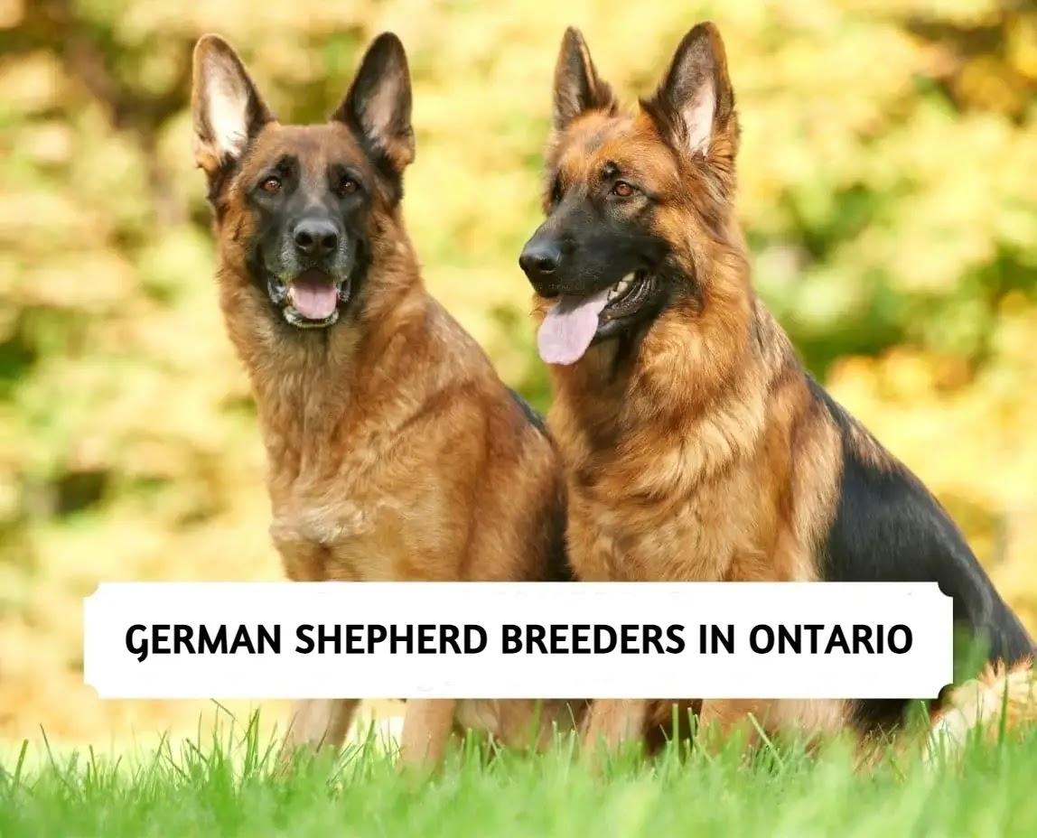 Best German Shepherd Breeders in Ontario