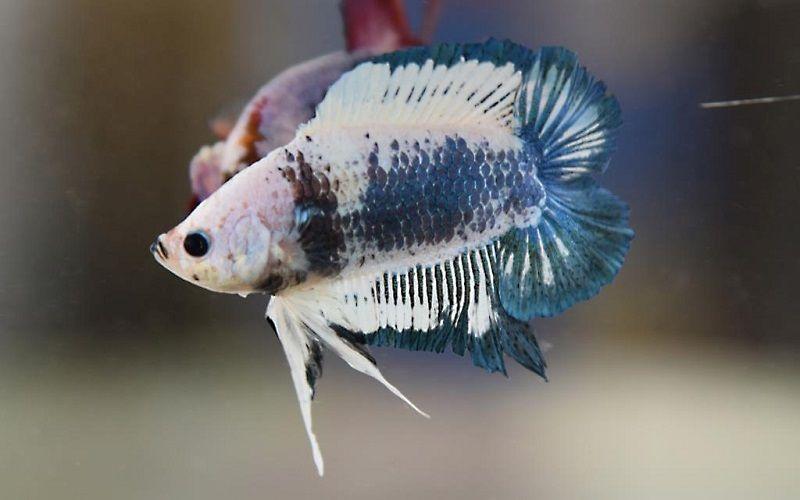 Image Double Tail Betta Fish