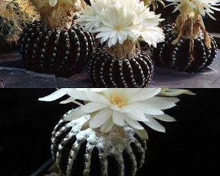 Discocactus horstii Kaktus Unik