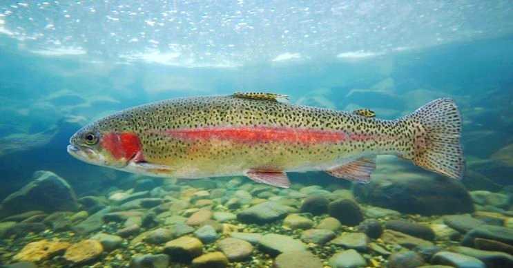 Gökkuşağı alabalığı adı gibi rengarenktir ve sığ sularda yaşamayı tercih eder.
