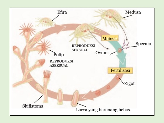 proses siklus hidup dan tahapan perkembangbiakan ubur-ubur