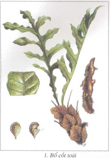 Cây Bổ Cốt Toái - Drynaria fortunei - Nguyên liệu làm thuốc Chữa Tê Thấp và Đau Nhức
