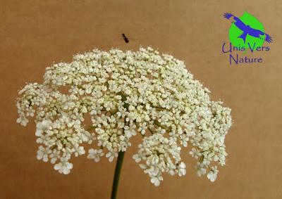 fleurs carotte sauvage stages plantes sauvages Franche comté bourgogne