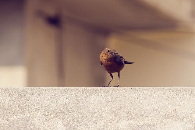 Look By Shashank Mittal Photography, Look, Shashank Mittal Photography, Shashank Mittal, Photography, bird, common indian bird