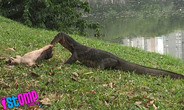 A man was jogging in Japanese Garden, a park located in Jurong East, on Thursday (21 April 2016) when he noticed a two-metre-long monitor lizard eating a stray cat.