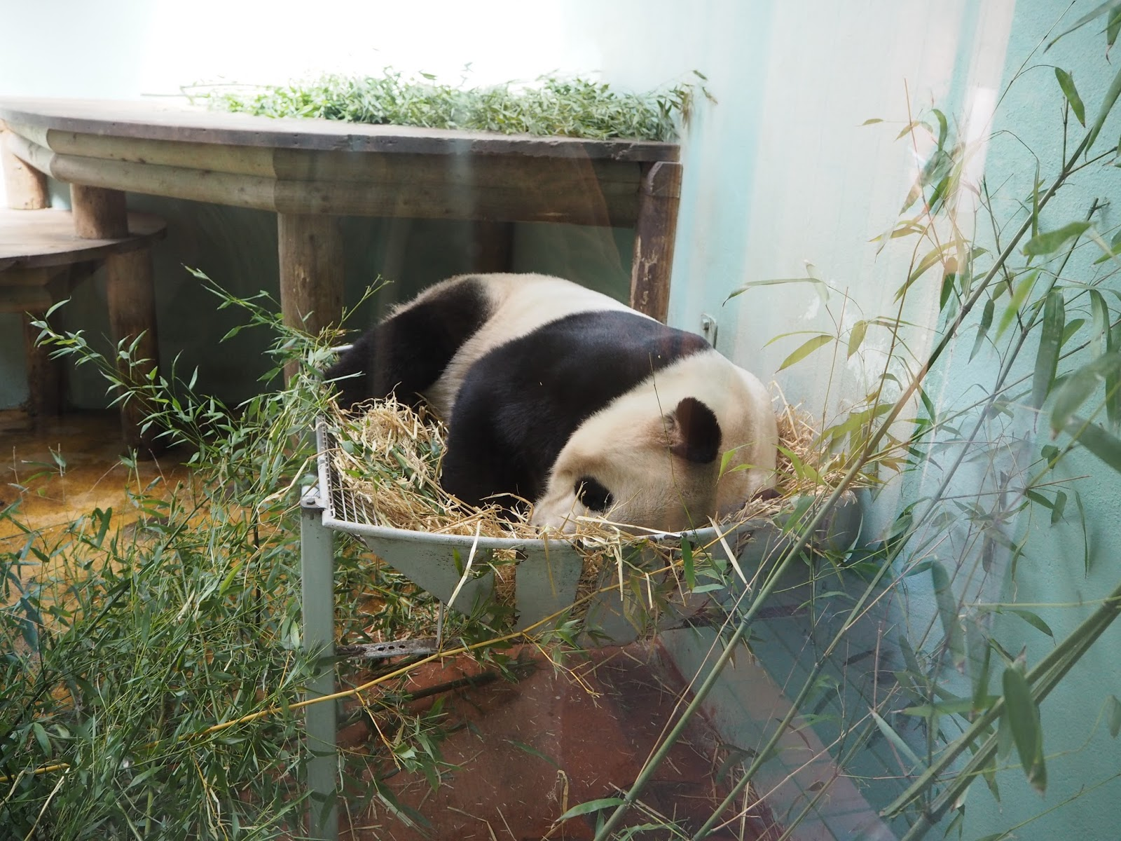 edinburgh zoo pandas