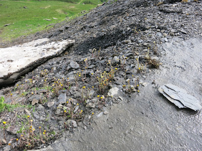 habitat of coltsfoot, Tussilago
