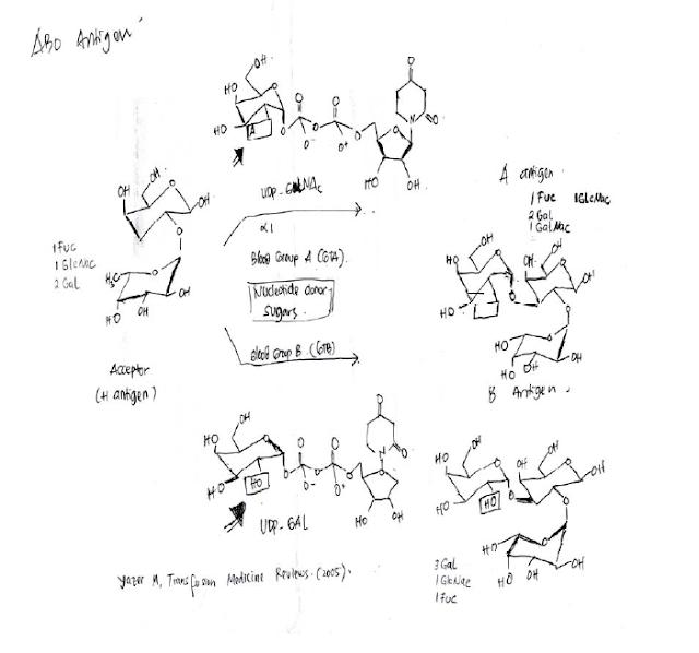 Struktur ABO Antigen