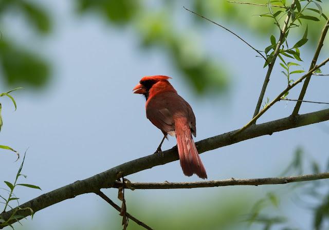 Northern Cardinal - Oak Openings Preserve, Ohio, USA