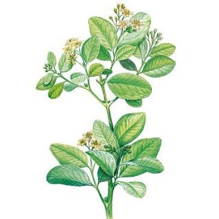 Boldo-do-chile, nome científico: Peumus boldus
