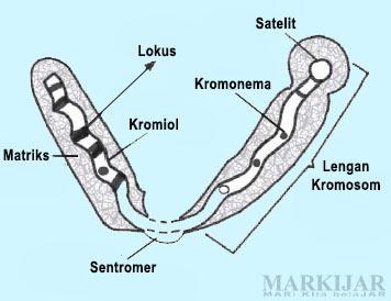Gambar Struktur Kromosom