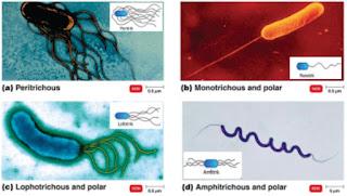 Penyakit Ikan Golongan Bakteri (Bacterial Disease)