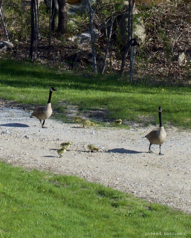 Canadian Geese with Goslings at Pieced Pastimes
