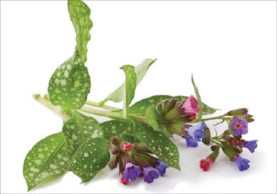 The Lungwort is a universal plant for the treatment of all lung diseases: