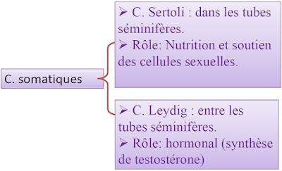 Cellules somatiques du testicule