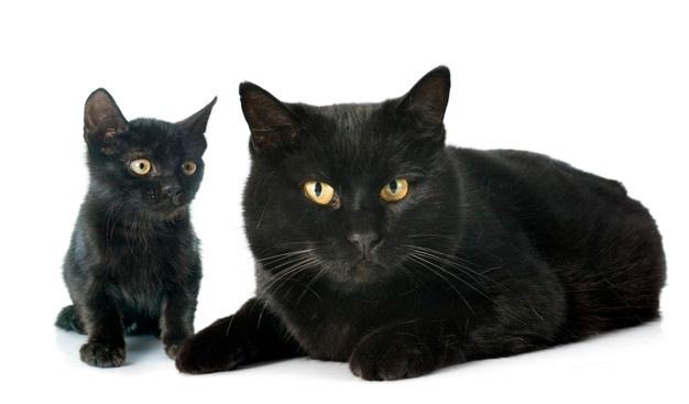 Bombay black cat