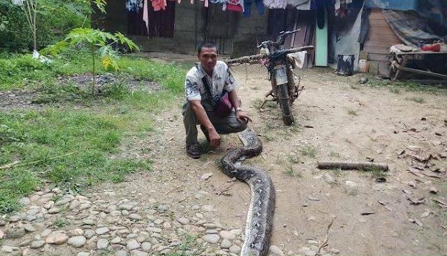 ular piton besar melilit warga langsa
