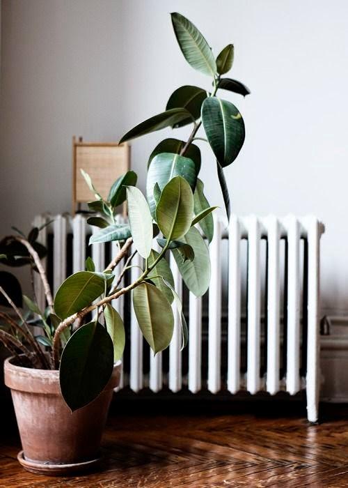 Inspirational homes verde dentro de casa - Ficus elastica cuidados ...