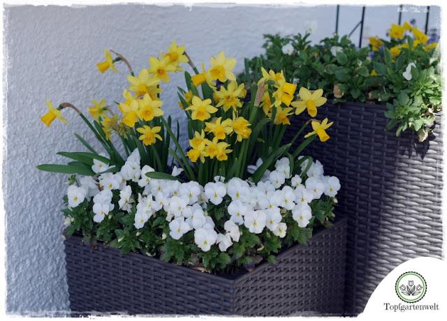 Gartenblog Topfgartenwelt Topfgarten + DIY mit Knagglig (Kiste) und Töpfen viel Platz auf kleinem Raum schaffen - Blumendeko mit Hornveilchen und Bellis passend für den Frühling und Ostern: Frühblüher im Topfgarten