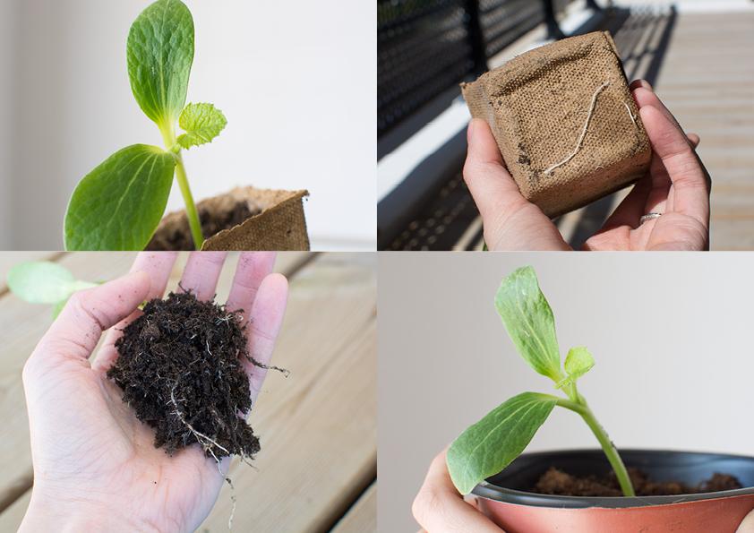 repiquer-semis-courgette