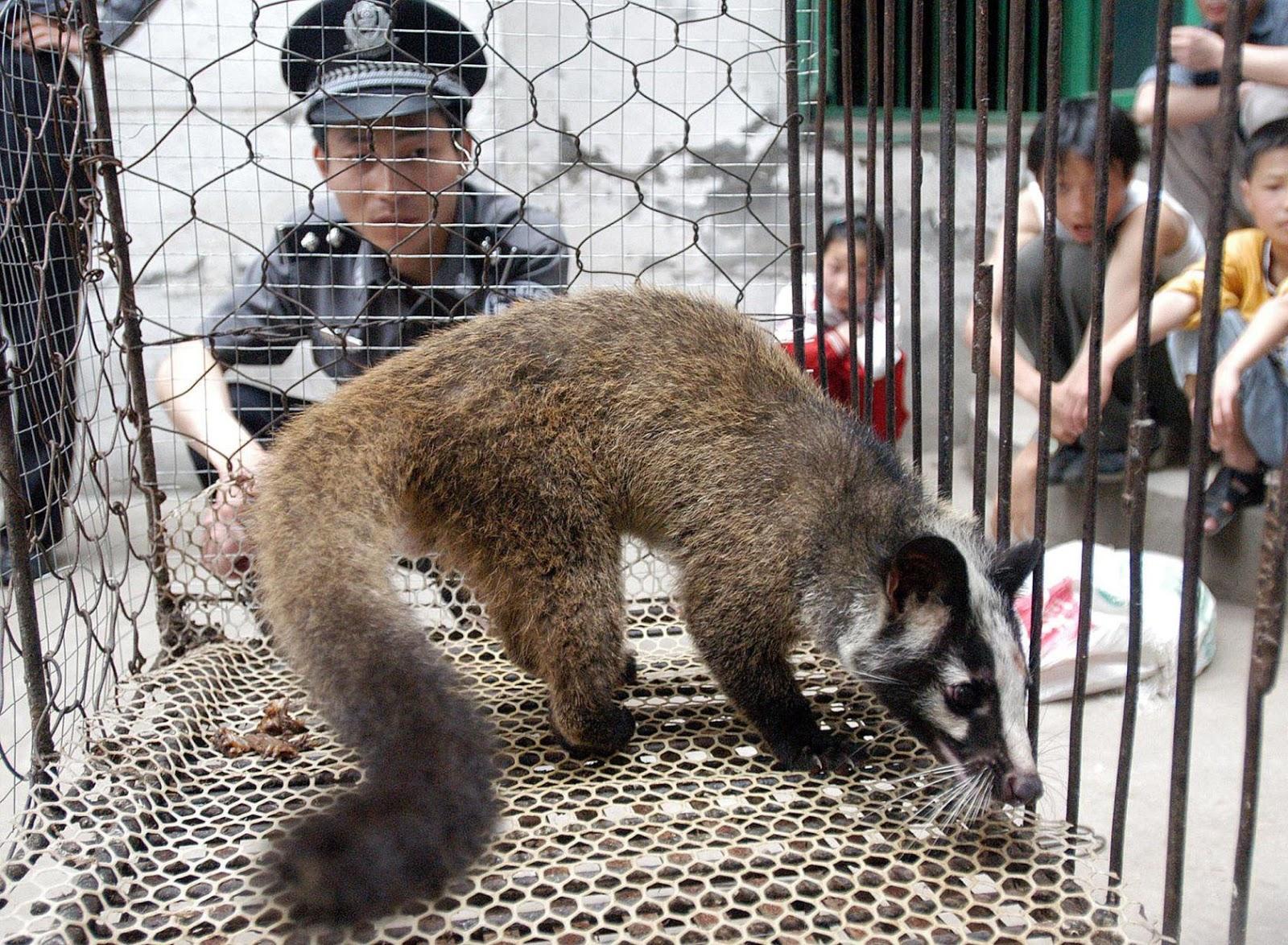 Wuhan Raccoon