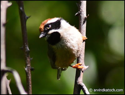 Eye Contact, Black-throated Tit,